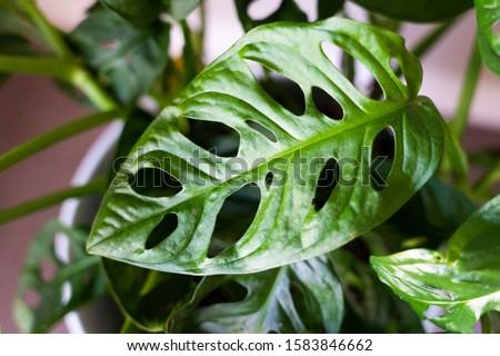 swiss cheese plant leaf or monstera adansonii
