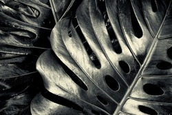 Swiss Cheese Plant (Monstera deliciosa) in black and white with shiny leaves