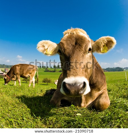 Swiss cow resting on green grass - stock photo