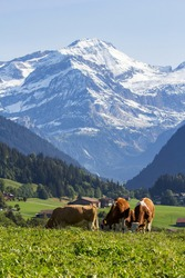 Swiss cows grazing in an alpine meadow under the snow mountains of alps