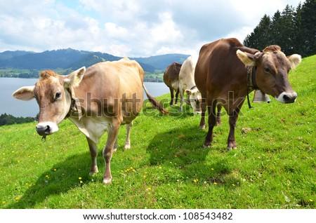 Swiss cows on Alpine meadow