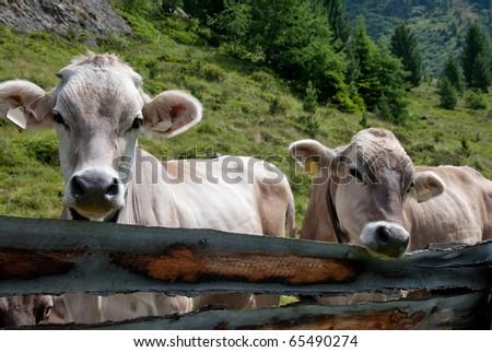 Swiss cows Portrait