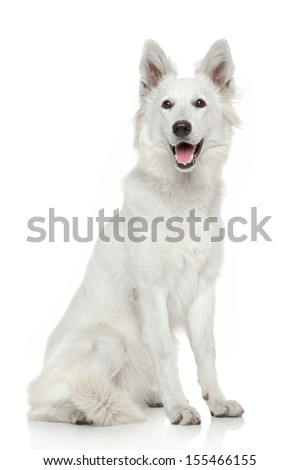 Swiss Shepherd dog. Portrait on white background