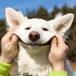 Swiss Shepherd dog smiles with man`s help