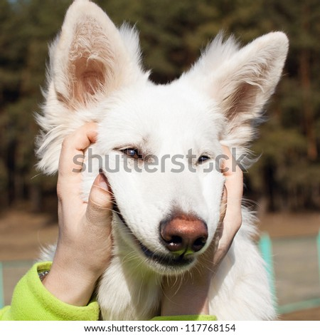 Swiss Shepherd dog smiles with man`s help