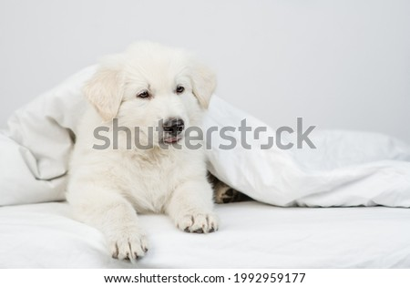 Swiss shepherd puppy lying  under white warm blanket on a bed at home