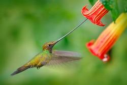 Sword-billed hummingbird, Ensifera ensifera, fly next to beautiful orange flower, bird with the longest bill, in nature forest habitat, Ecuador. Wildlife scene from tropical forest.