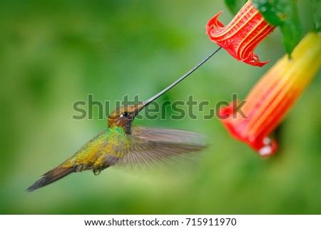 Sword-billed hummingbird, Ensifera ensifera, fly next to beautiful orange flower, bird with the longest bill, in nature forest habitat, Ecuador. Wildlife scene from tropical forest.