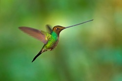 Sword-billed hummingbird, Ensifera ensifera, it is noted as the only species of bird to have a bill longer than the rest of its body. Nature forest habitat in Ecuador. Sword bill bird.