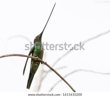 Sword billed hummingbird perched on a twig with a white background