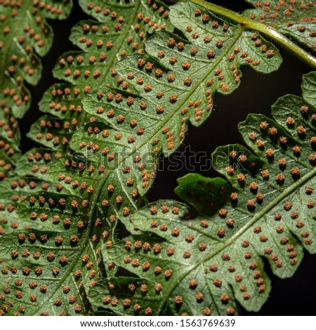 Sword fern spores on frond  #1563769639