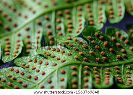Sword fern spores on frond  #1563769648