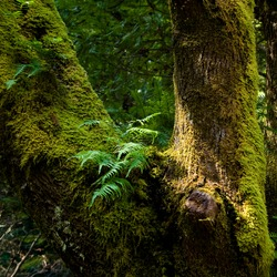 sword ferns grow from a saddle in a moss covered tree as sunlight kisses the trunk