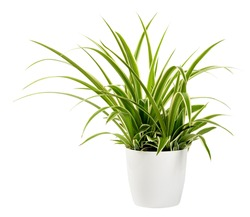 Sword-like ornamental leaves of a potted Chlorophytum laxum plant with green and white variegated margins in a close up side view isolated on white