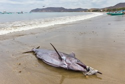 Swordfish landed on beach by fishermen, Puerto Lopez, Ecuador