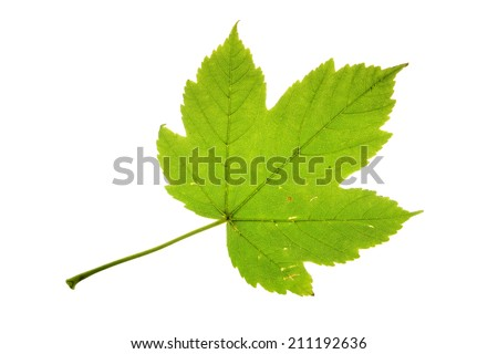 Maple Leaf vs Sycamore Leaf Sycamore Maple Leaf Isolated