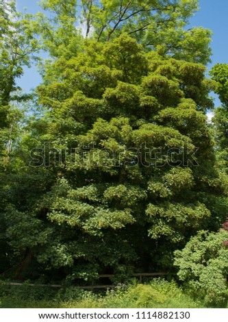 Sycamore Tree (Acer pseudoplatanus) in a Woodland Landscape in Rural Devon, England, UK