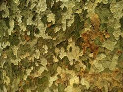 Sycamore tree bark, camouflage background