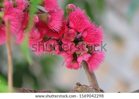 Sycygium malaccense. Beautiful pink flowers bloom in a large bush. And is a popular fruit due to its soft texture and sweet and sour taste