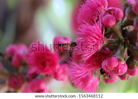 Sycygium malaccense flowers bloom in a large bush. It is interesting for bees and is a popular fruit due to its soft texture and sweet and sour taste.