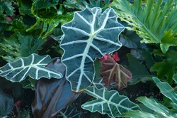 Sydney Australia, distinct leaves of a alocasia sanderiana or kris plant native to northern Mindanao in the Philippines