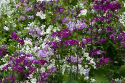 Sydney Australia, garden of white, mauve and purple primula malacoides or fairy primrose  flowers