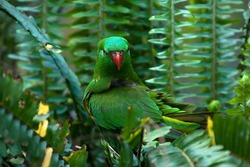 Sydney Australia, Trichoglossus chlorolepidotus is also known as scaly-breasted lorikeet,  gold and green lorikeet,  green lorikeet, or green parrot
