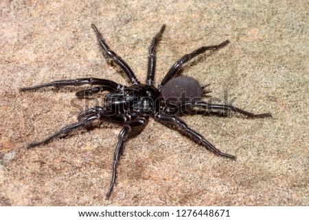 Sydney Funnel Web Spider #1276448671