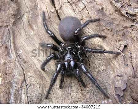 Sydney Funnel Web Spider Stock Photo 34007215 : Shutterstock