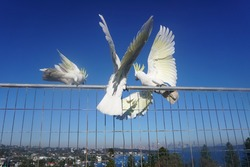 Sydney, NSW, Australia, August 20, 2021. Spooked Cockatoos escaping towards Sydney's smoke-covered Skyline