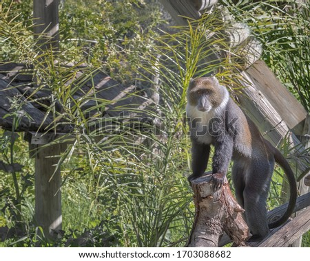 Sykes' monkey, the white-throated monkey or Samango monkey, Cercopithecus albogularis. Exotic monkeys in the Monkey Forest in Yodfat, Israel. Natural conditions for freely moving animals in open zoo