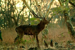 symbiosis between male deer and starlings in the Indonesian wilderness