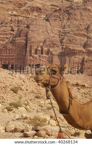 symbol of africa and the middle east ,transport, travel and adventure the camel in front of the carved ruins of petra jordan