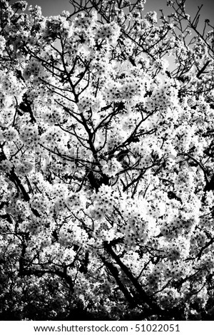 cherry tree blossom japan. Cherry tree blossoms in black