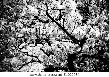 Symbol of Japanese culture. Cherry tree  blossoms in monochrome.