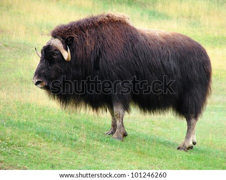 Symbol of strength, beautiful and impressive male musk ox standing in the prairie, looking at camera.