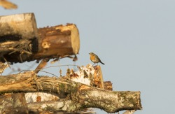 Symbolic environmental portrait of European Robin, sitting on top of the pile of recently clear-cut timber from the bird home territory