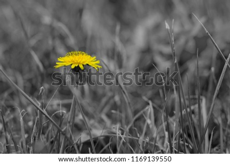 Stock Photo Symbolizes loneliness. A dandelion flower with a yellow blooming head rises above the trim lawn and serves as the images single focal point. Foreground and background are very blurred.