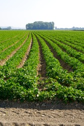Symmetric agriculture potato plants field on a sunny day at summertime. Photo taken June 11th, 2021, Payerne, Switzerland.