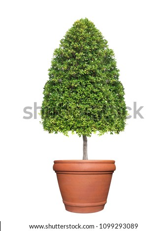 Symmetric cone shape trim topiary tree on clay pot isolated on white background for outdoor and garden design
