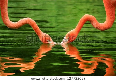 Symmetrical image of 2 flamingos with their necks reflected on the water