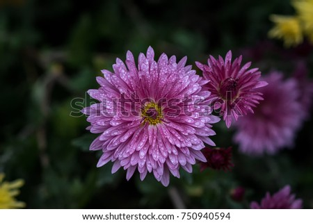 Symmetrical purple flower. Chrysanthemum - herbaceous perennials and annuals of the family Astropey or Asteraceae. #750940594