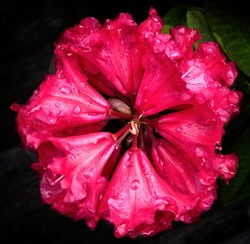 Symmetrical red rhododendron covered with droplets of water after the rain