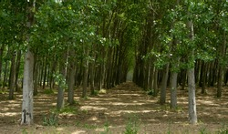 symmetrical trees in the forest