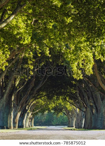 Symmetrical Trees on a Road Path with Morning Light and a Tunnel Effect