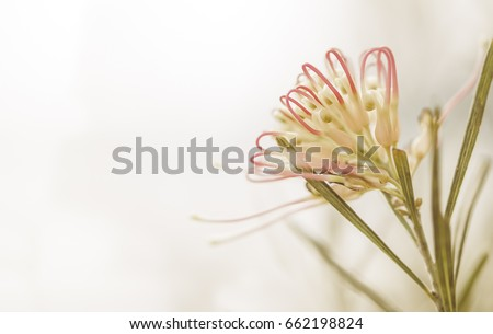 Sympathy card background with Australian grevillea flower in soft pastel colors and copy-space for sorrow, funeral, remembrance, greeting, departure, loss, or sad message