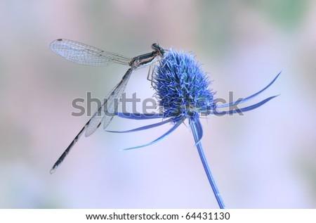Sympecma fusca (male)