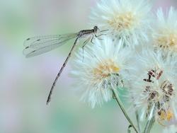 Sympecma paedisca (male)