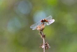 Sympetrum flaveolum. large dragonfly on a dry plant. beautiful insect sits on a branch on a green blurred background. beautiful bokeh, yellow dragonfly, predator, close-up, macro nature photo