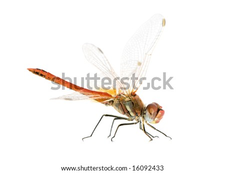Sympetrum fonscolombei in front of a white background